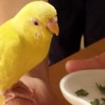 セキセイインコの餌について解説